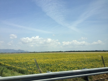 Fields of sunflowers flanking the highway on our drive through Italy.